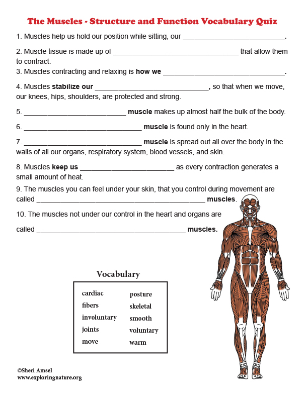 Muscles - Structure and Function Vocabulary Quiz