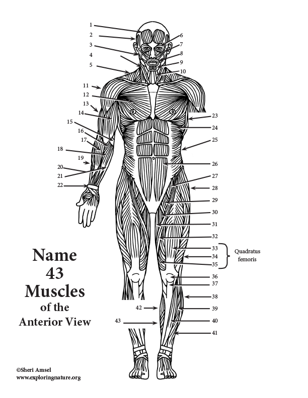 Muscles of the Anterior Body Labeling (HS-Adult)