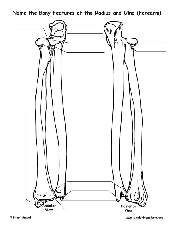radius and ulna  forearm   u2013 bony features