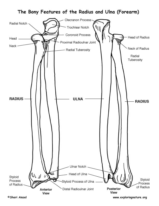 Radius and Ulna (Forearm) – Bony Features