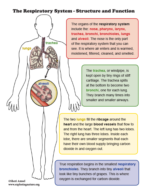 Respiratory System -  Structure and Function Mini-Poster