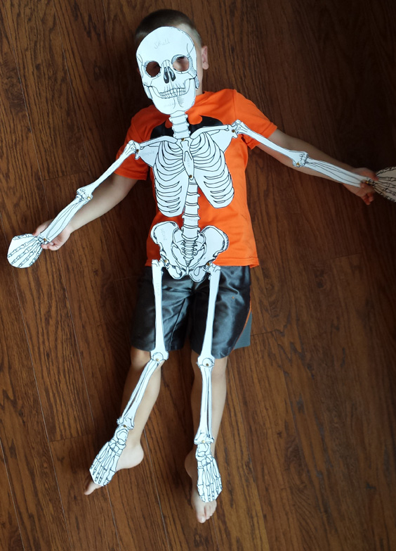 a model of the human skeleton, Skeleton