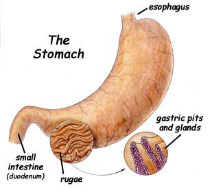 digestion and stomach function Digestion begins when feed enters the mouth  stomach the primary function of the small intestine is to further break down and absorb the nutrients found in food.