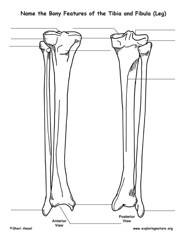 Vr Section 2 moreover Anatomy Study Leg Bones 79204975 further Brachiosaurus Brancai Is Not Brachiosaurus together with 1063 besides Lateral condyle. on foot skeletal system diagram