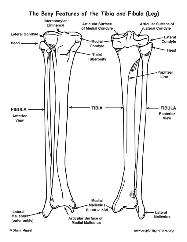 tibia and fibula  lower leg   u2013 bony features