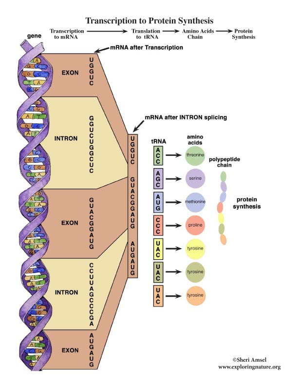 Transcription to Protein Synthesis Chart
