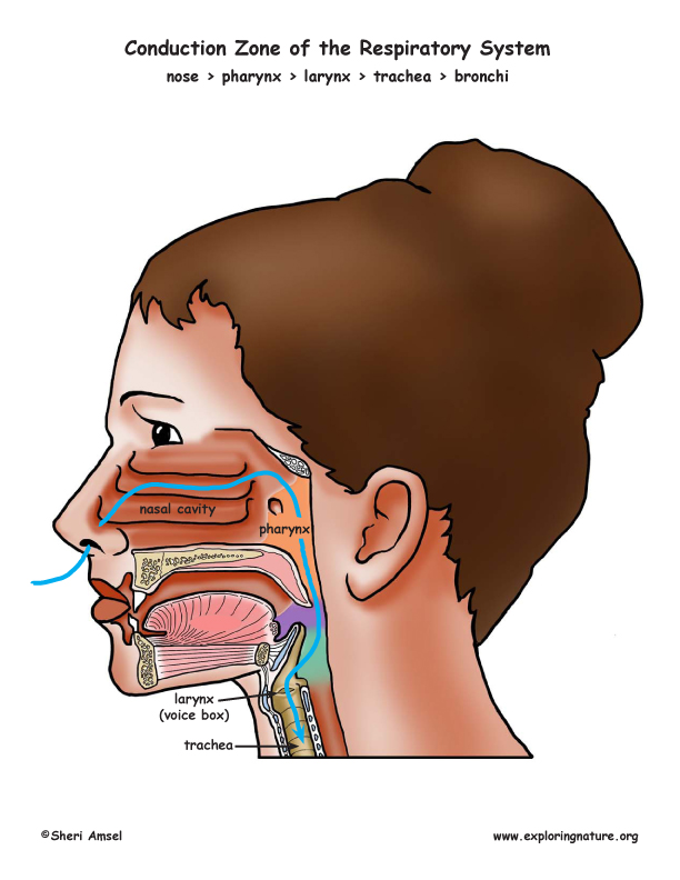 airway conduction zone of respiratory system