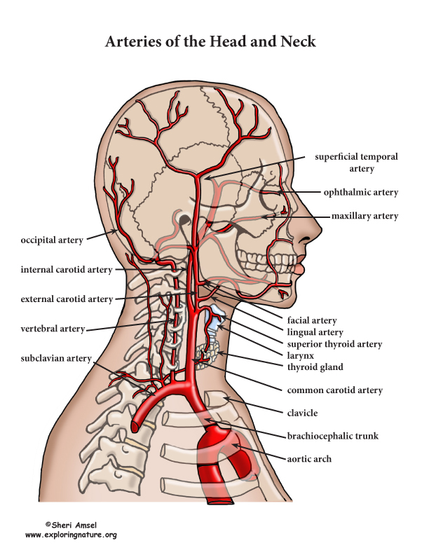 Arteries Of The Head And Neck Advanced