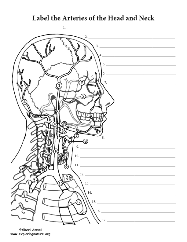 Arteries Of The Head And Neck Labeling Page