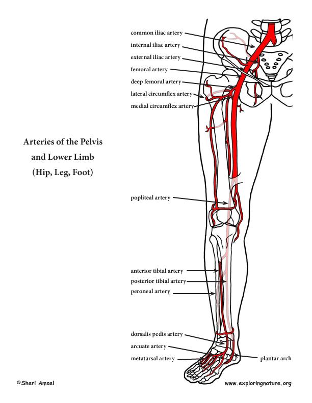 Lower extremity vascular anatomy