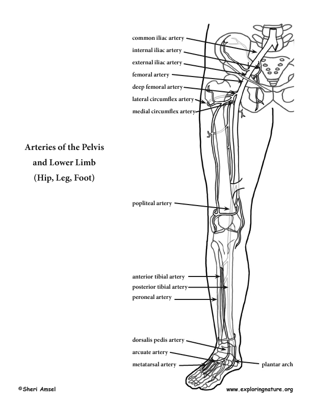 Arteries Of The Lower Limb Pelvis Leg And Foot Advanced