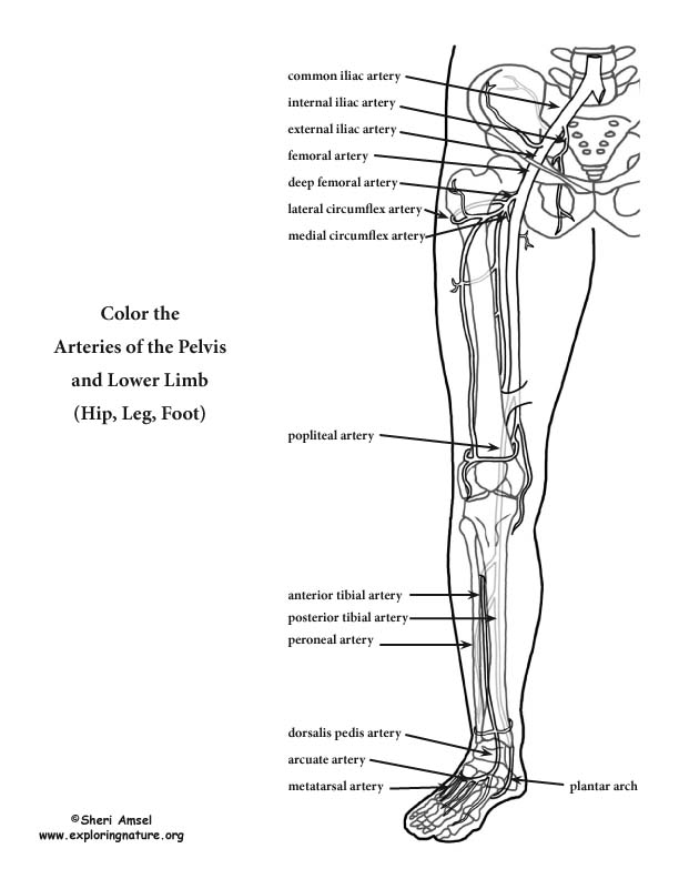 Arteries of the Lower Limb (Pelvis, Leg and Foot) Coloring Page