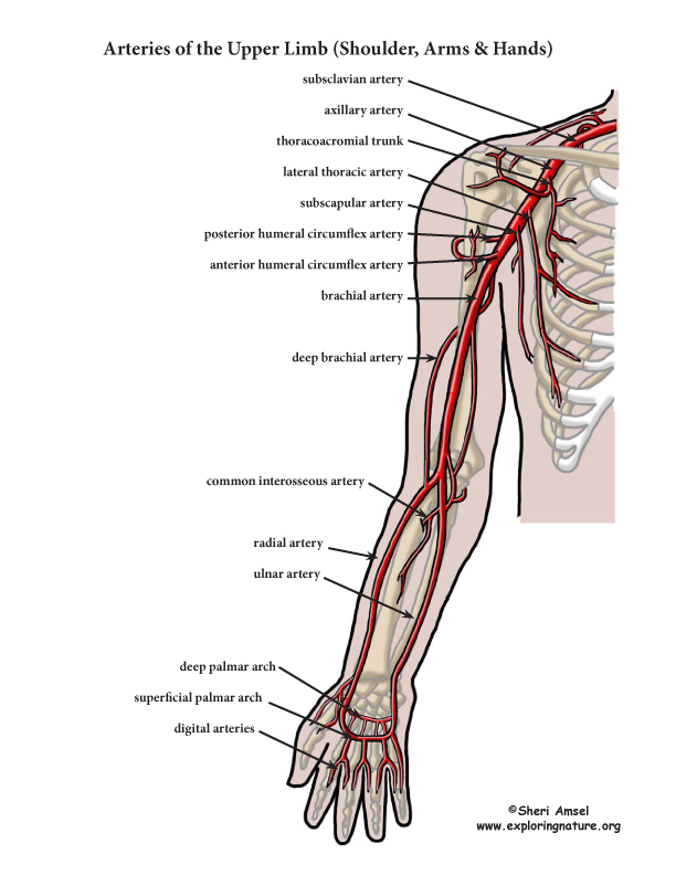 Arteries Of The Upper Limb Arm Advanced