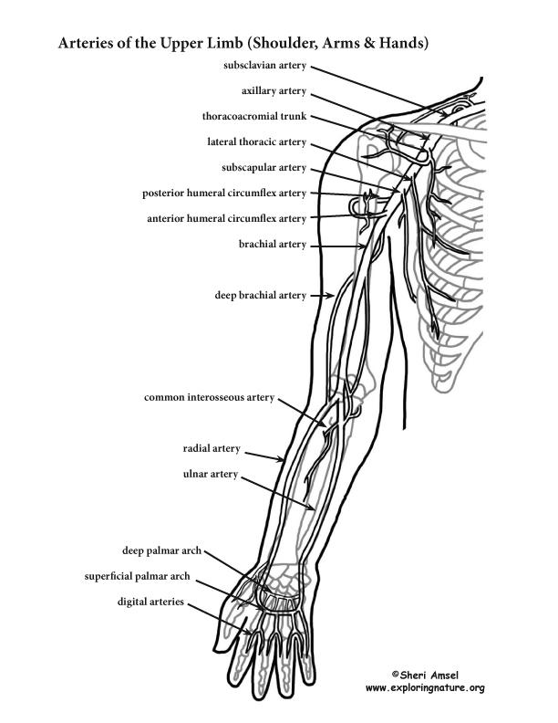 Arm arterial anatomy