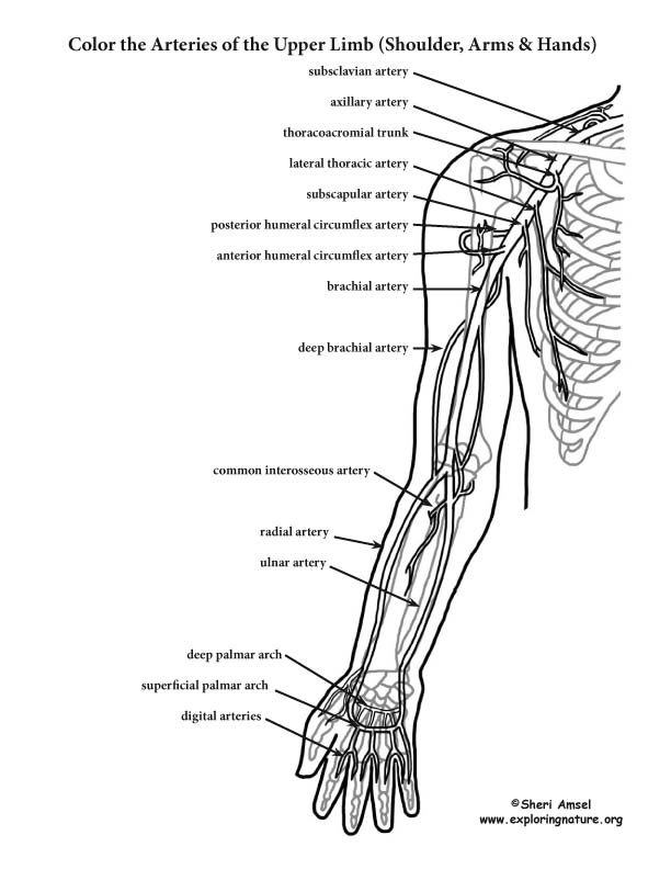 Arteries of the Upper Limb (Shoulder, Arm, Hand) Coloring Page