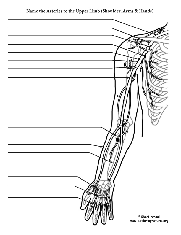 Arteries of the Upper Limb (Shoulder, Arm, Hand) Labeling
