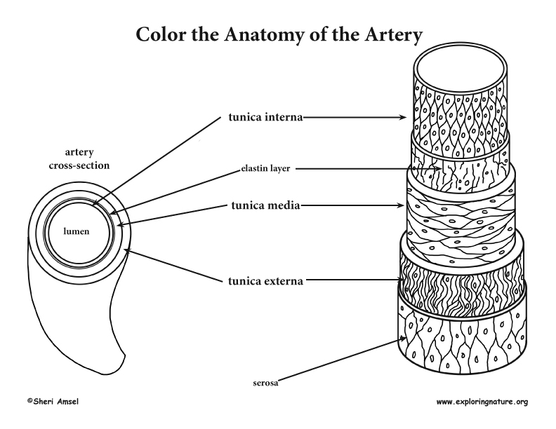- Blood Vessel Anatomy Coloring Page