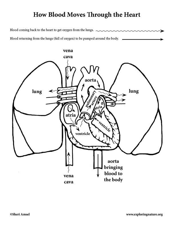heart anatomy and blood flow  elementary