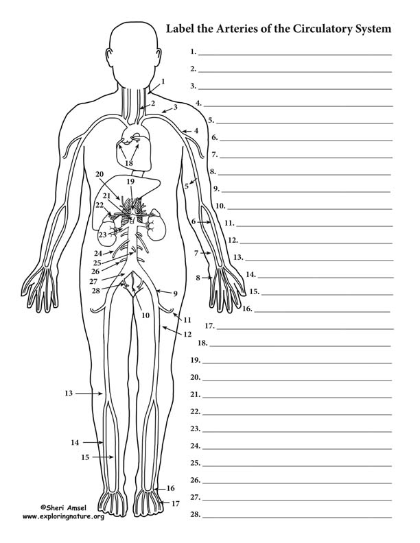Blood Vessels Labeling Circulatory System Advanced – Circulatory System Diagram Worksheet