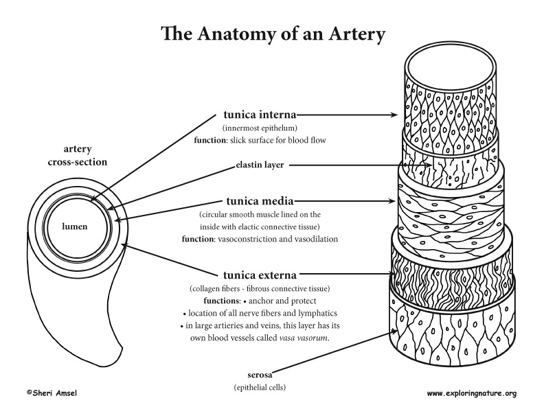 Anatomy of blood vessels lab
