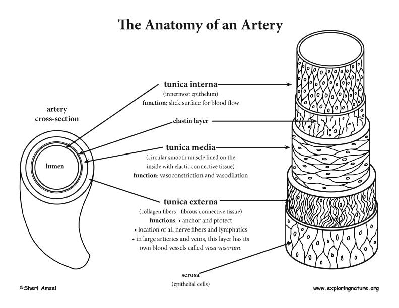 Anatomy Of The Blood Vessel  Advanced