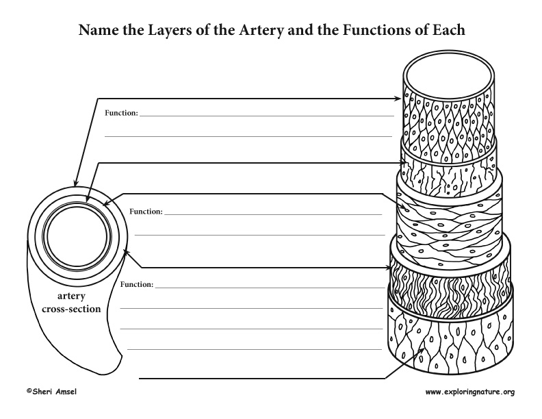 Blood Vessel Anatomy Labeling