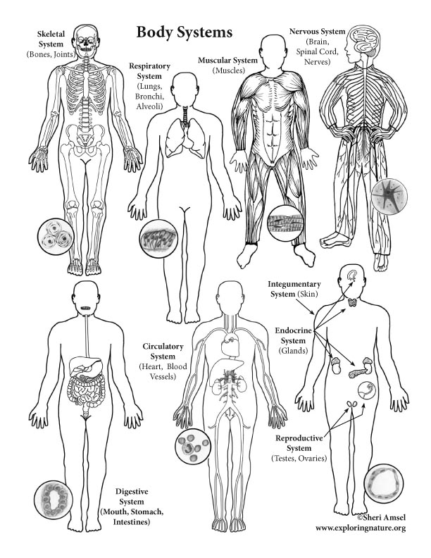 Human body systems labeling advanced