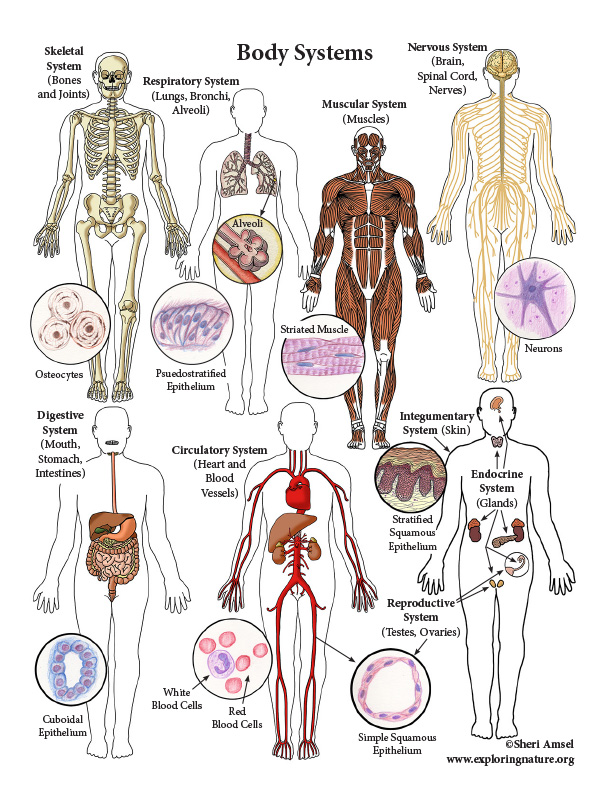 Body Systems (Advanced)