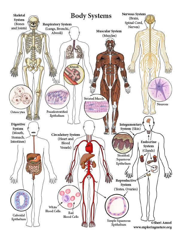 Body Systems Color Mini-poster