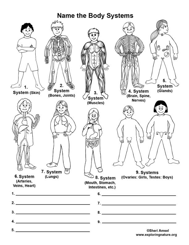 Human Body Systems - Labeling