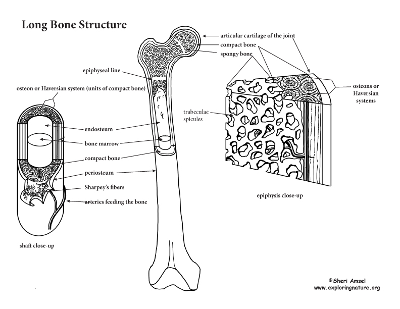 Bone Structure and the Anatomy of Long Bones