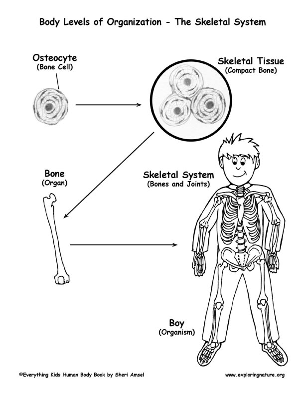 seventh grade lesson skeletal system structure and function resources cornell system · skeletal system