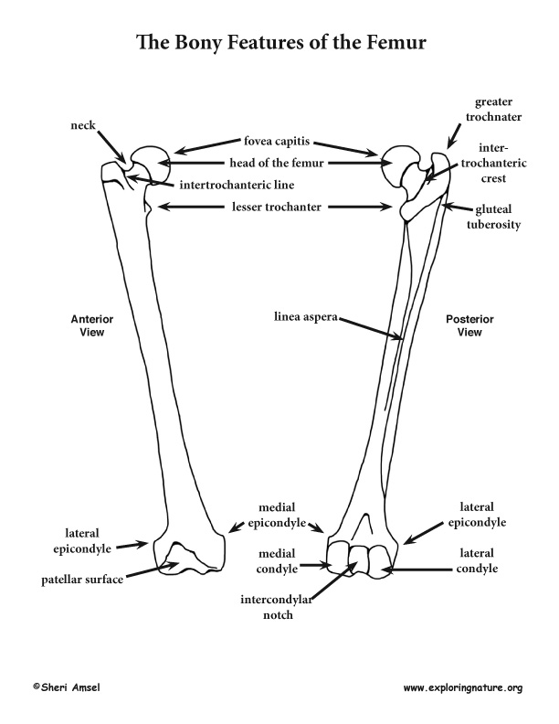 Skeletal System - Back and Lower Limb