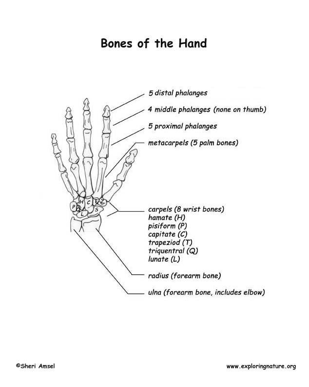surgical anatomy of the hand pdf