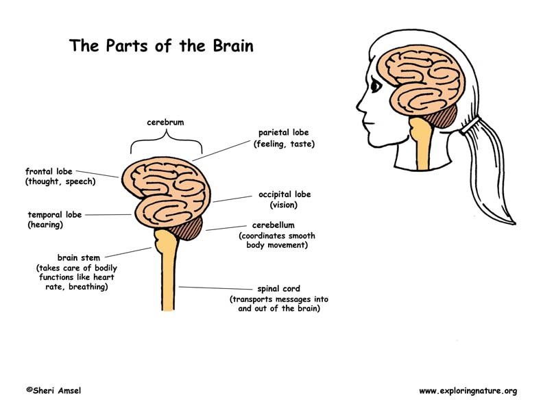 System Parts The Central Nervous System
