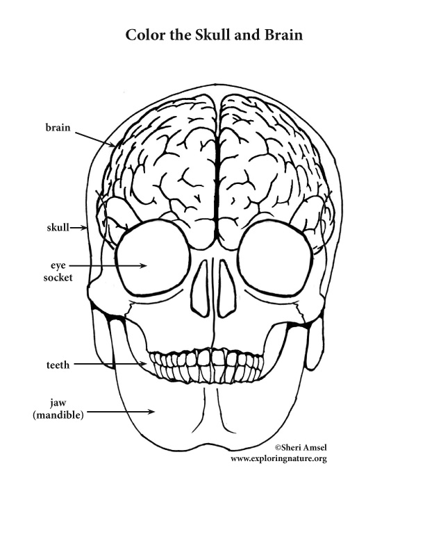 Brain and skull coloring page elementary for Skull coloring pages anatomy
