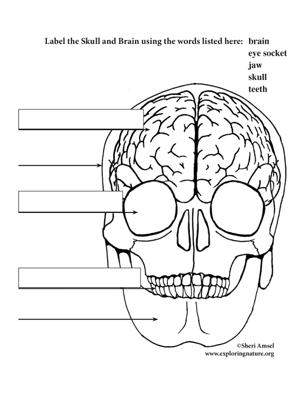 Brain And Skull Labeling  Elementary