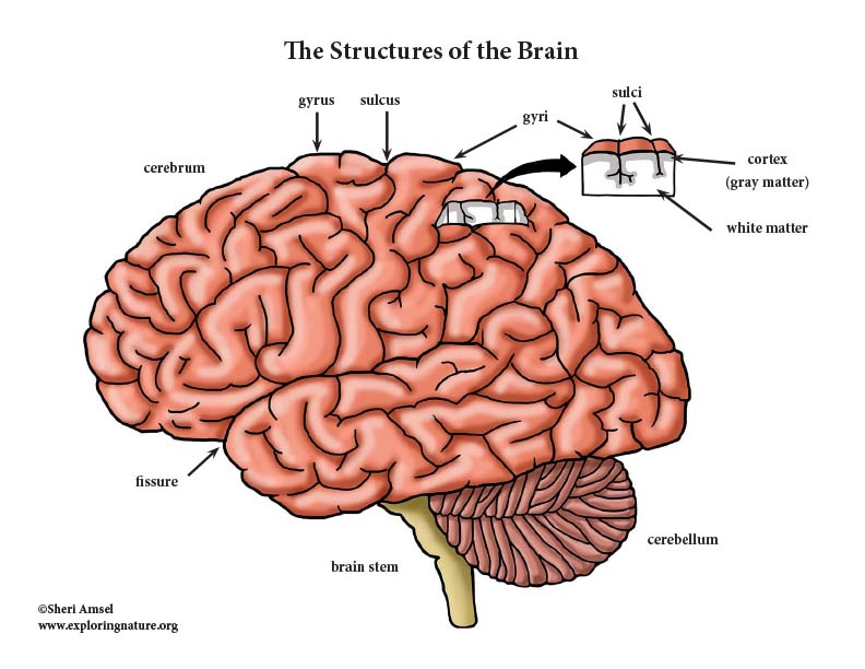 Brain Structures and Lobes - Mini-Posters