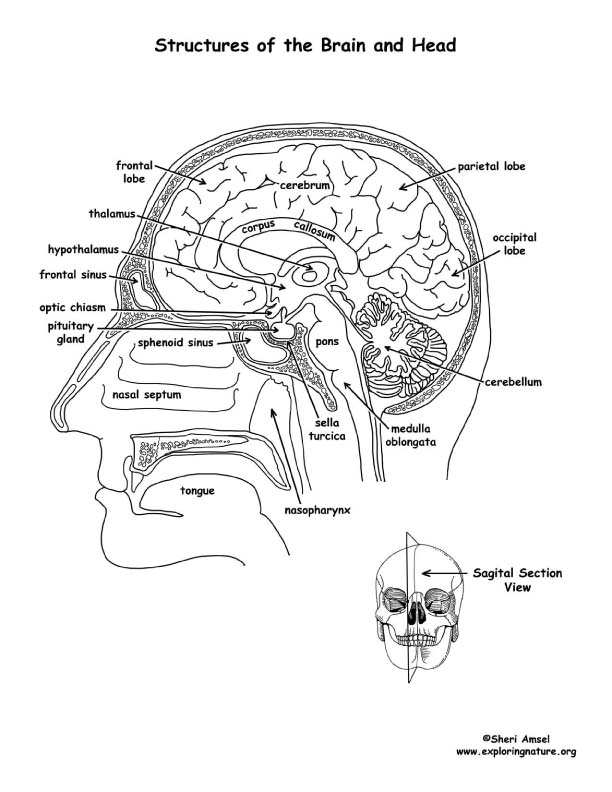Brain Structures Labeled Coloring Page
