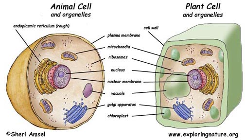 Animal Cell Coloring Page Answers : Cell organelles