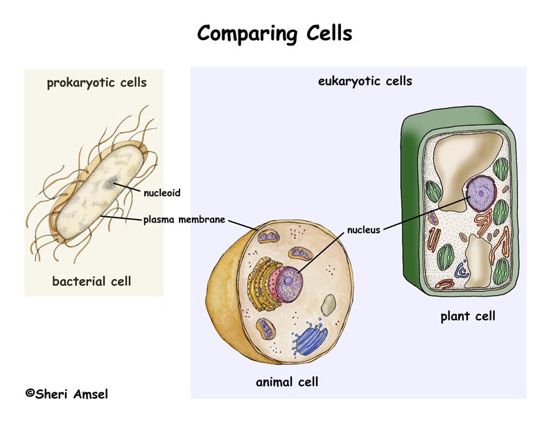 Organs prokaryotic cells eukaryotic cells