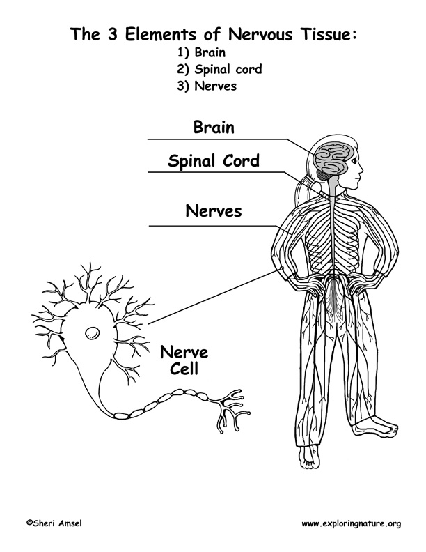 Human Nervous System Diagram for Kids