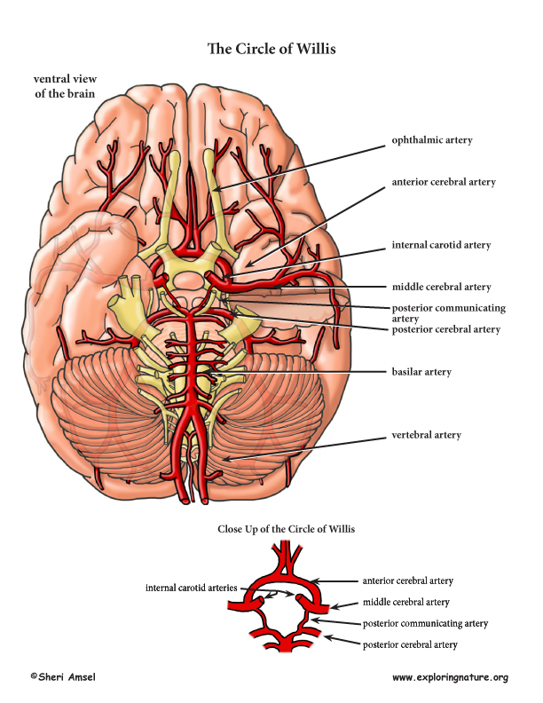 Arteries of the Head and Neck (Advanced*)