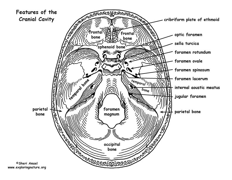 human body parts diagram skull bony features grasshopper body parts diagram