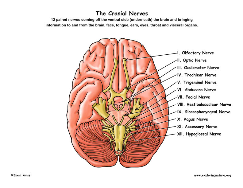 12 cranial nerves - Akba.greenw.co
