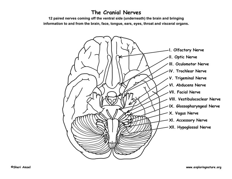 cranial nerves of the brain  12 pairs