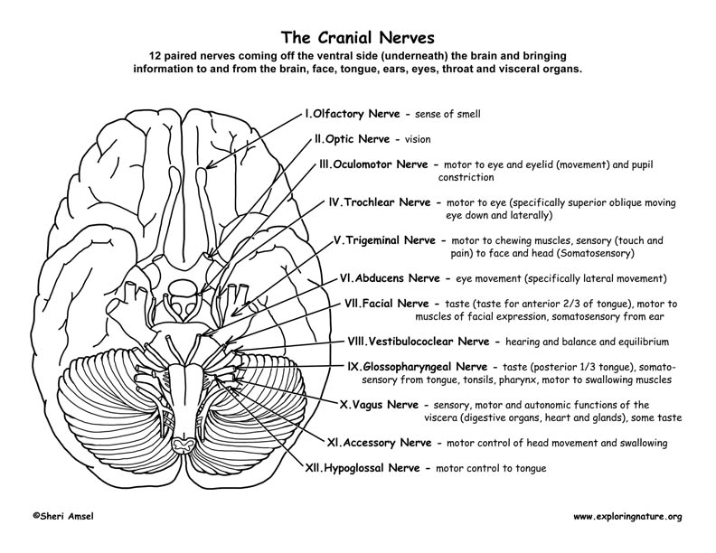 Cranial Nerves Worksheet Rringband – Parts of the Brain Worksheet