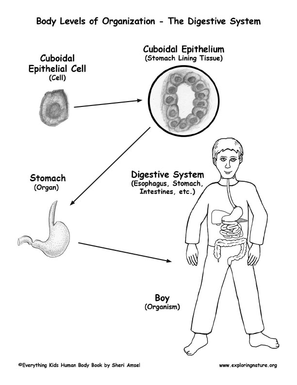 Ms Edmunds Cells Tissues Organs And Organ Systems