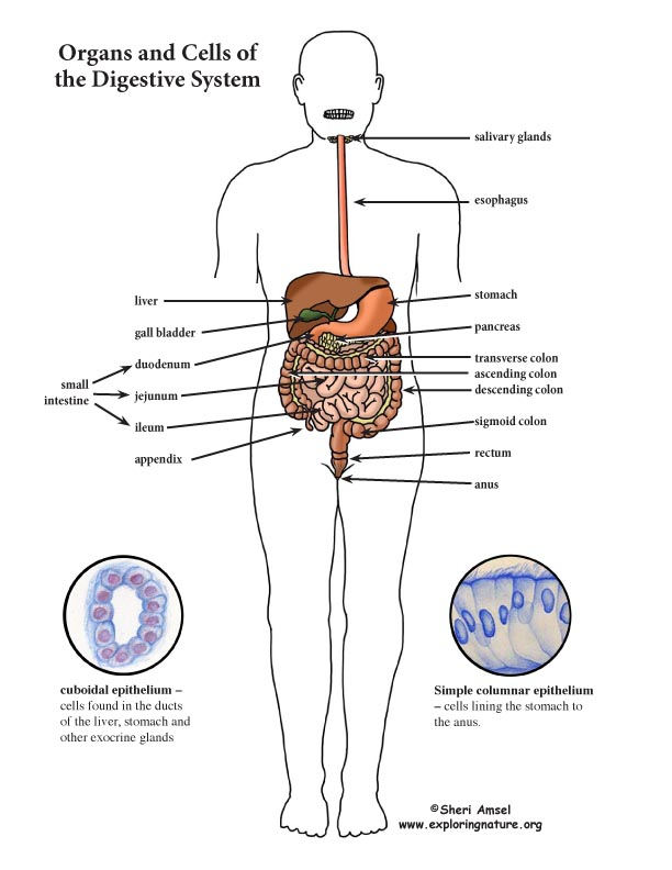 digestive system color diagram mini poster