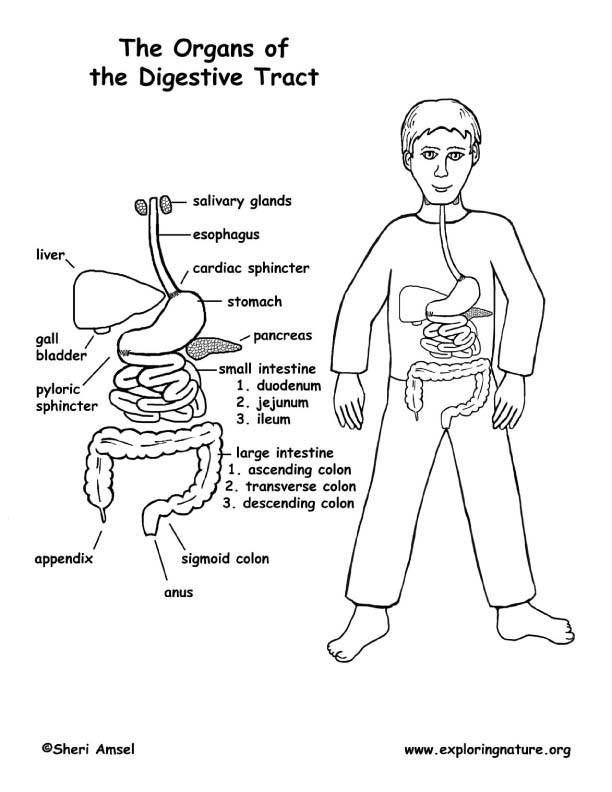 Organs of the Digestive Tract Coloring Page (Middle School)